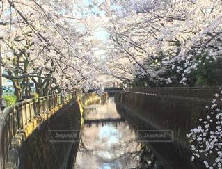 桜,水面,花見,風情,4月