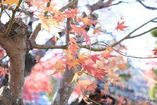 秋,紅葉,京都,綺麗,観光,樹木,嵐山,11月,秋色
