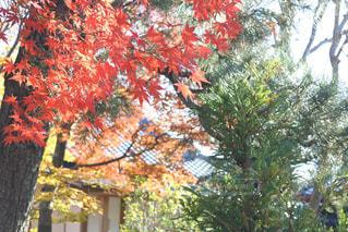 秋,紅葉,京都,緑,赤,綺麗,黄色,観光,樹木,イチョウ,嵐山,11月,秋色