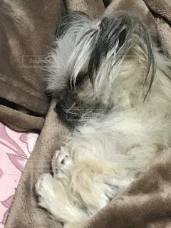 犬,寝顔,ミックス,熟睡,ポメシーズー