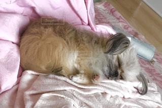 犬,寝顔,お昼寝,ミックス,ポメシーズー