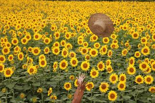 真っ黄色の写真・画像素材[788486]
