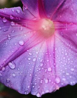 近くに紫の雨の中で傘のアップの写真・画像素材[1235384]