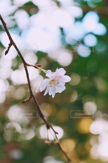 春の一輪目の写真・画像素材[2783362]