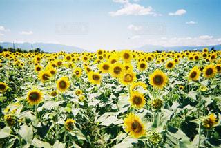 野原の黄色い花の写真・画像素材[2849720]