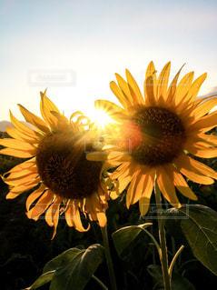 空,花,太陽,ひまわり,光,草木,西日