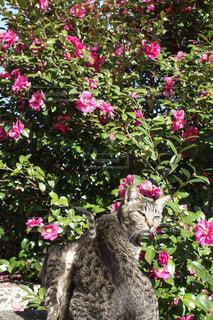 猫,風景,動物,屋外,ピンク,島,椿,樹木,ペット,人物,島猫,草木,ネコ