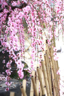 春の報せの写真・画像素材[3015183]
