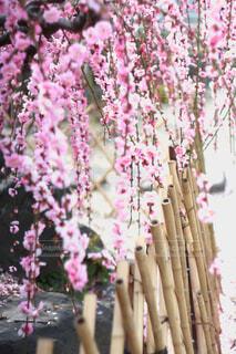 咲くの写真・画像素材[4354034]