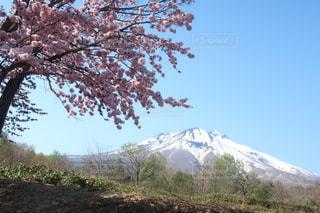 No.465926 桜