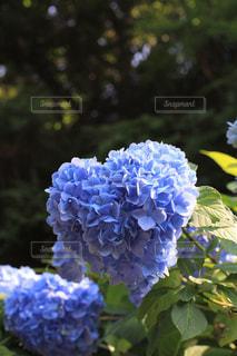 花,あじさい,紫,ハート,紫陽花,ブルー,5月