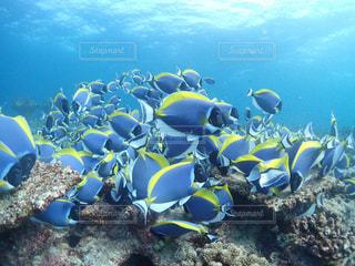 海,モルディブ,水中,休日,sea,ダイビング,Maldives,diving,水中写真,インド洋,パウダーブルーサージョンフィッシュの群れ,under water