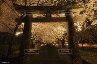桜,鳥居,夜桜,長崎,ソメイヨシノ,大村,大村公園