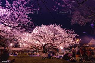 桜,ピンク,花見,夜桜,長崎,ソメイヨシノ,大村,大村公園