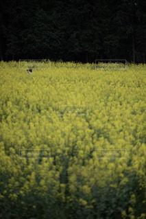 菜の花畑の写真・画像素材[1129485]