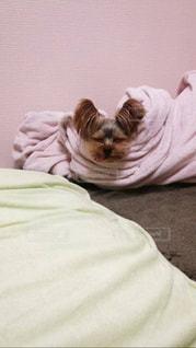 犬,寝顔,ヨークシャテリア