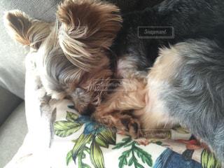 犬の写真・画像素材[472527]
