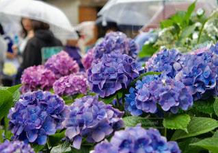 紫陽花の写真・画像素材[1245795]