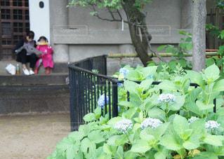 花,雨,植物,神社,散歩,鮮やか,紫陽花,たくさん,祭り,梅雨,複数