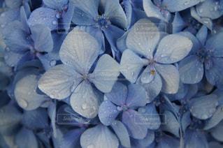雨の紫陽花の写真・画像素材[1246120]