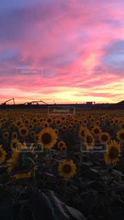 自然,空,花,夏,夕日,屋外,太陽,ひまわり,夕暮れ,紫,向日葵,夕陽,サンセット,夕日が綺麗