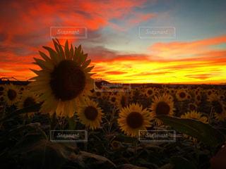 ひまわり畑の写真・画像素材[1269108]