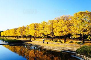 水面に映るイチョウ並木の写真・画像素材[1627371]