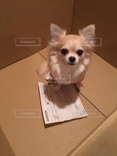テーブルの上に座って小型犬の写真・画像素材[1207422]
