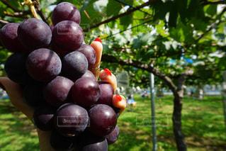 近くに果物の木のアップの写真・画像素材[783197]