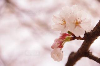 春,桜,屋外,ピンク,きれい,お花見,外