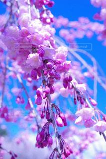 春,桜,屋外,ピンク,きれい,青空,お花見,外