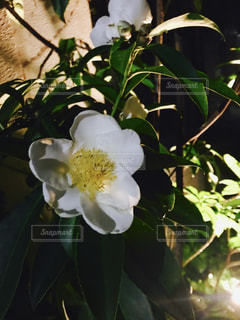 植物の花の花瓶の写真・画像素材[921691]