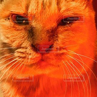 クローズ アップ カメラを見て、オレンジ色の猫のの写真・画像素材[973486]
