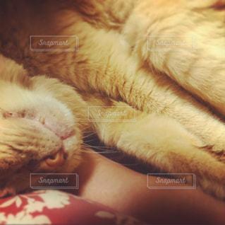 近くに眠っている猫のアップの写真・画像素材[1269822]