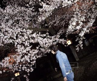 ファッション,春,桜,メンズ,夜桜,景色,新潟,弥彦,弥彦公園