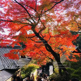 赤い葉の木 - No.870096
