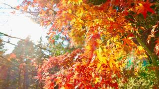 自然,秋,紅葉,森,光,癒し,山梨県