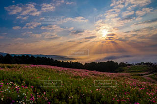 絶景,コスモス,九州,長崎県,白木峰高原