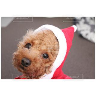赤い帽子をかぶった犬 - No.906635