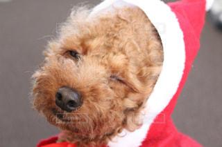 犬は赤い帽子をかぶって、カメラを見て - No.906638