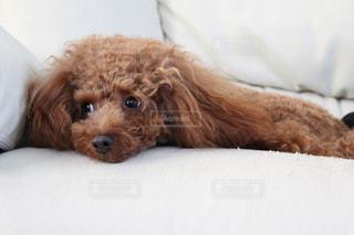 ベッドの上に横たわる大きな茶色の犬の写真・画像素材[906644]