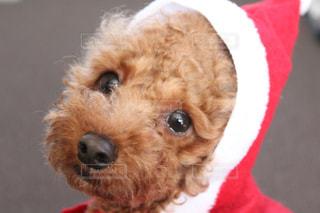 犬は赤い帽子をかぶって、カメラを見て - No.989442