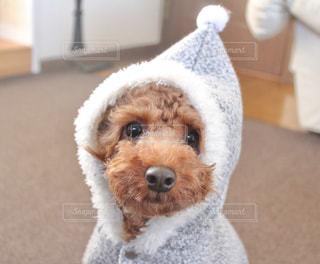 衣装を着て茶色と白犬 - No.989460