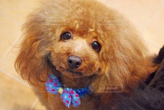 茶色の小さな犬 - No.989511