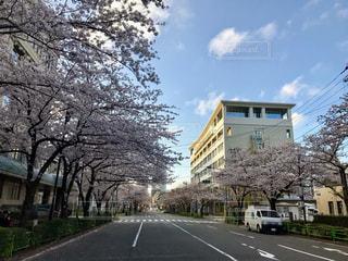 春,桜,豊洲,勝どき,月島,首都大学東京