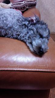 トイプードル,動物 犬