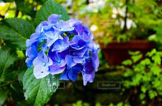 No.537667 紫陽花