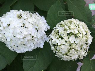 #白い花 - No.545449