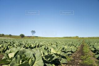 食べ物,自然,風景,田舎,野菜,キャベツ,高原,新鮮,畑,群馬県,嬬恋村