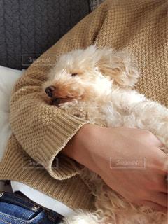 犬,寝顔,トイプードル,のんびり